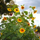 Downtown Grand Forks Sunflowers